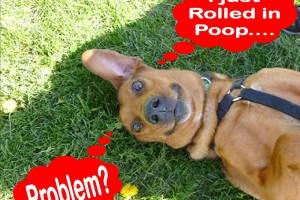 Roll in Poop, dog rolling, dog tips, dog training