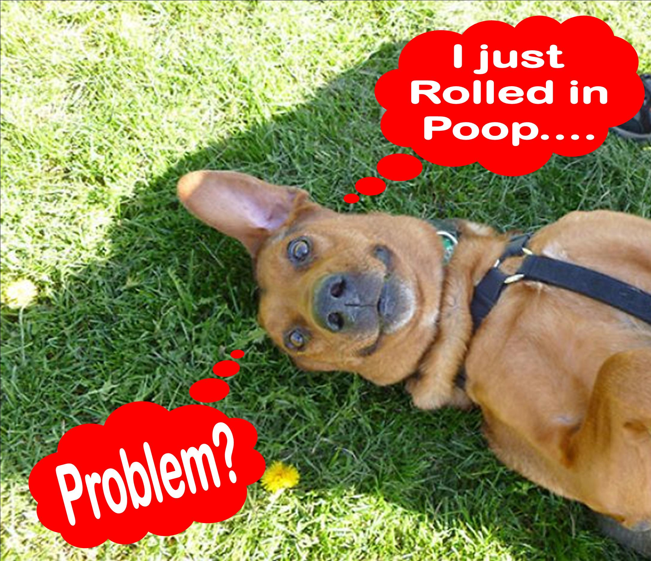 Roll in Poop, dog rolling, dog tips, dog training