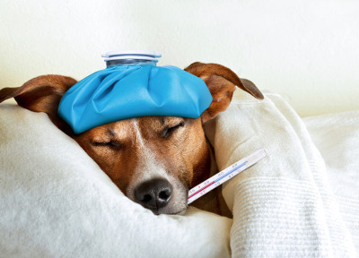 dog-with-high-fever